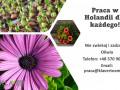 przyjemna-praca-przy-kwiatach-w-holandii-od-zaraz-small-0