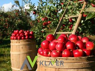 Praca na 3/4 tygodnie zbiory jabłek i gruszek Holandia – Steenbergen