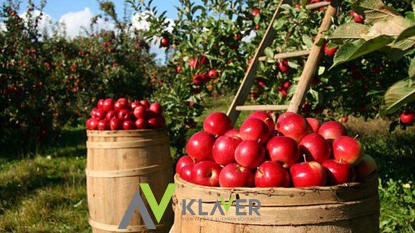 praca-na-34-tygodnie-zbiory-jablek-i-gruszek-holandia-steenbergen-big-0
